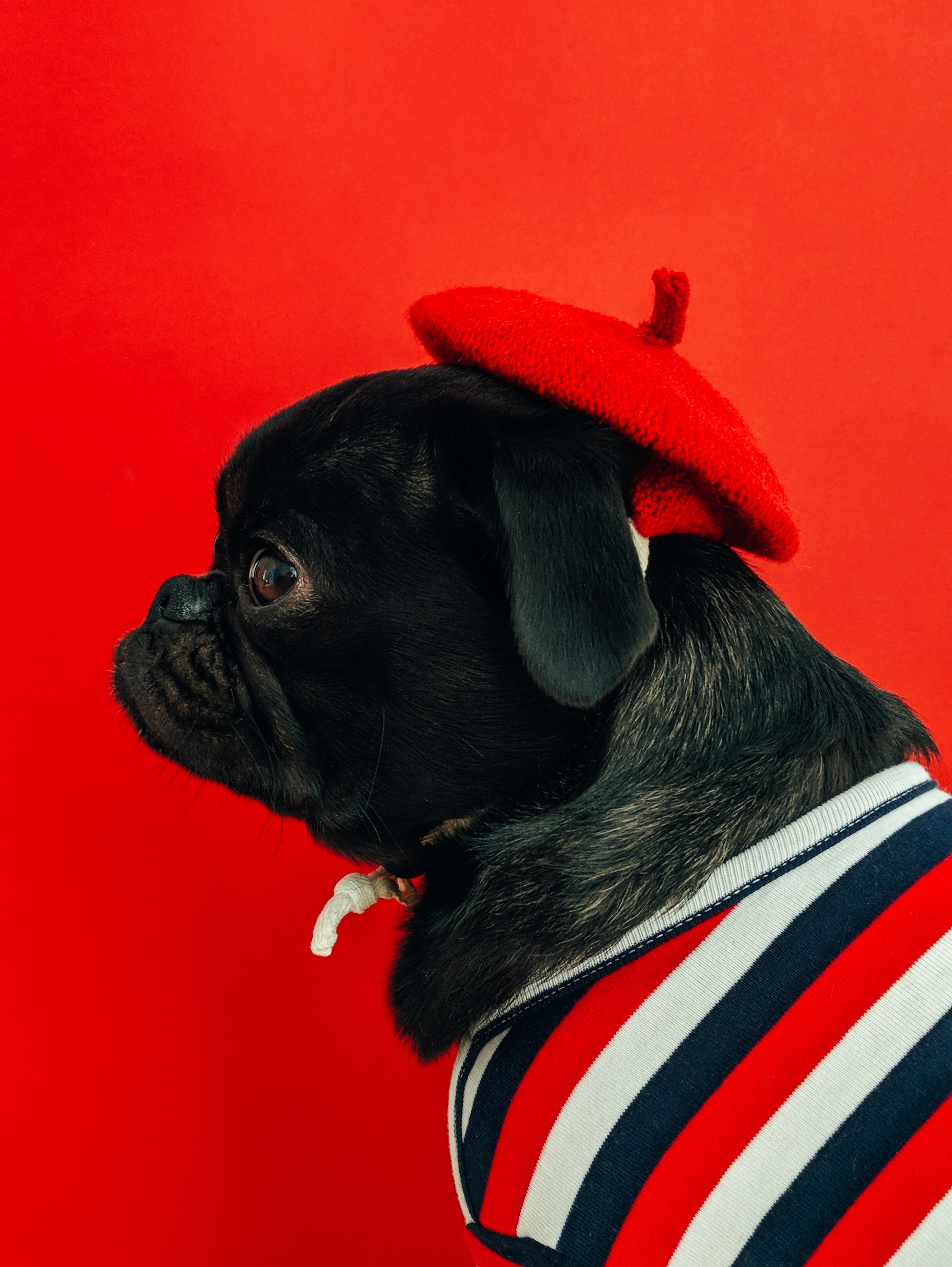 chine-bouledogue-francais-french-touch